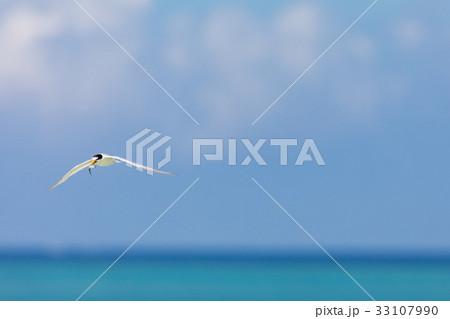 海の上を飛ぶ海鳥 アジサシ 33107990