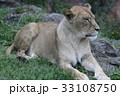 雌ライオン 33108750