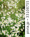 ハルジオン 春紫苑 花の写真 33108755