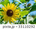 【神奈川県】ひまわり 33110292