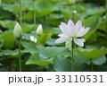 ハスの花 33110531