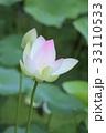 蓮の花 33110533