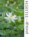 蓮の花 33110534