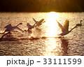 コハクチョウ ハクチョウ 鳥の写真 33111599