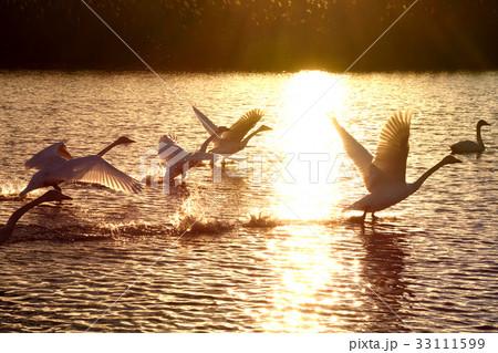 飛翔するコハクチョウ 33111599