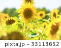 ひまわり 向日葵 黄色いの写真 33113652