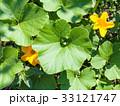 フラワー 花 ズッキーニの写真 33121747