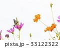 キバナコスモス アゲハ コスモスの写真 33122322