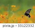 キバナコスモス アゲハ コスモスの写真 33122332