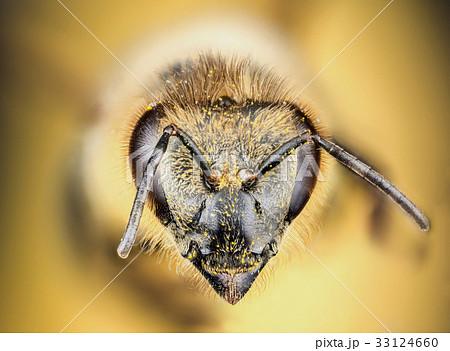 Head of the honey bee 33124660