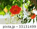 棚から吊り下がるノウゼンカズラの花 33131499