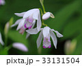 可憐に咲き乱れる紫蘭 33131504