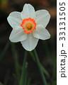 一輪咲きのスイセンの花 33131505
