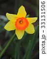 一輪咲きのスイセンの花 33131506