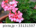 鉢植えのゼラニウム接写 33131507