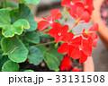 鉢植えのゼラニウム接写 33131508