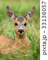 Baby roe deer on summer meadow 33136057