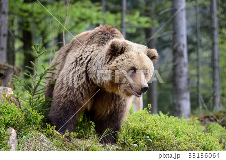 Big brown bear in the forest 33136064