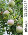 りんごの木と実 33139027