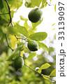 レモンの木と実 33139097