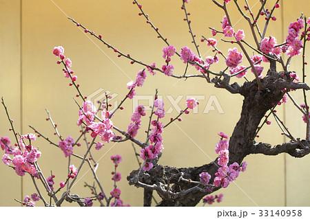 梅の花 33140958