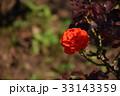 赤いバラ 33143359