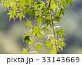 水滴 楓 葉の写真 33143669