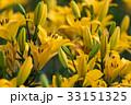 黄色 花 ユリ科の写真 33151325