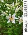 花 百合 植物の写真 33155875