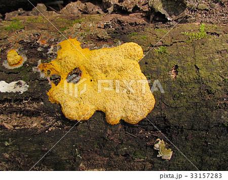 黄色い粘菌(変形菌)、ススホコリ 33157283