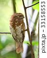 スマトラガマグチヨタカ 野鳥 ガマグチヨタカの写真 33158553
