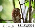 スマトラガマグチヨタカ 野鳥 ガマグチヨタカの写真 33158554
