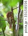 スマトラガマグチヨタカ 野鳥 ガマグチヨタカの写真 33158556