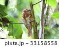 スマトラガマグチヨタカ 野鳥 ガマグチヨタカの写真 33158558