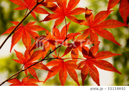京都の紅葉 33158692