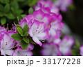 サツキの花 33177228