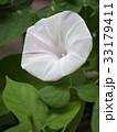 朝顔 花 植物の写真 33179411