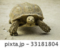 ケヅメリクガメ 33181804