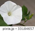 朝顔 花 植物の写真 33184657