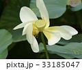 ハスの花 白花  33185047