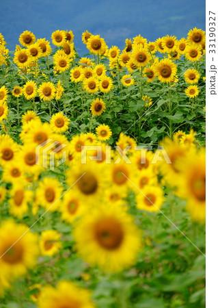 ひまわり畑 33190327