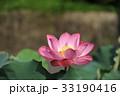 ピンクの蓮の花 33190416
