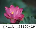 ピンクの蓮の花 33190419