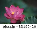 ピンクの蓮の花 33190420