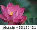 ピンクの蓮の花 33190421