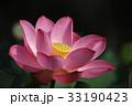 ピンクの蓮の花 33190423