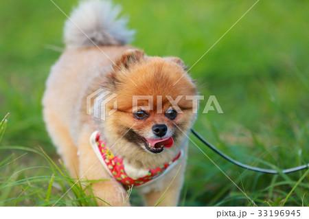 【小型犬】草原とポメラニアン 33196945