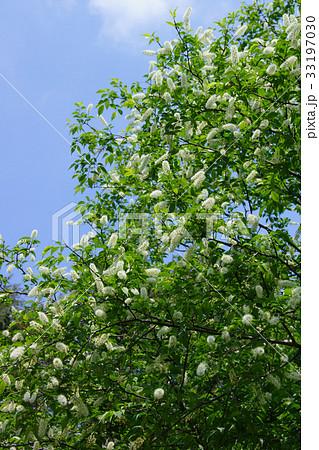 上溝桜 ウワミズザクラ 花言葉は「運命を開く」 33197030