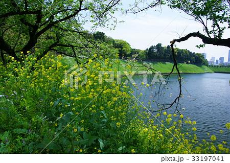 西洋芥子菜 セイヨウカラシナ 花言葉は「小さな幸せ」 33197041