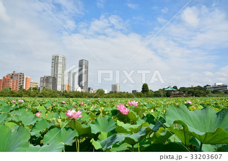 上野恩賜公園不忍池の蓮 33203607